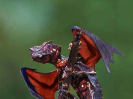 Satanic Leaf Tailed Gecko Talk Cock Sing Song