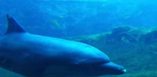 Fourth Resorts World Sentosa Dolphin Dies Talk Cock Sing Song