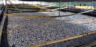 Stocks of Fish Wiped Out by Plankton Blooms Talk Cock Sing Song