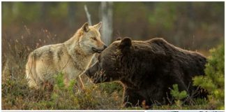 Grey Wolf and Brown Bear Talk Cock Sing Song