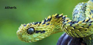 Weird Creature around the World - Atheris aka Bush Viper