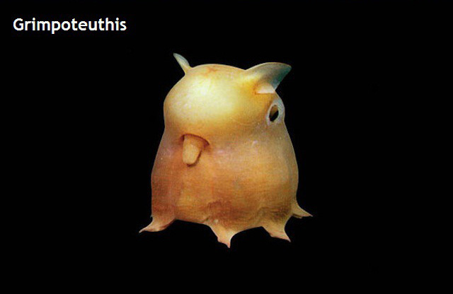Weird Creature around the World - Grimpoteuthis aka Dumbo Octopus