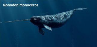 Weird Creature around the World - Monodon Monoceros aka Narwhale