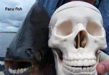 Weird Creature around the World - Pacu Fish