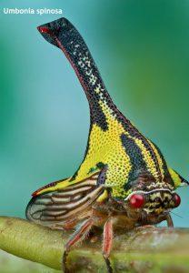 Weird Creature around the World - Umbonia Spinosa aka Thorn Bug